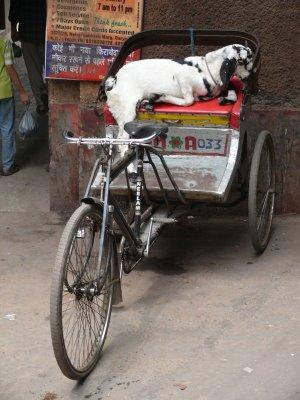 Old Delhi - Goat on Rickshaw.JPG